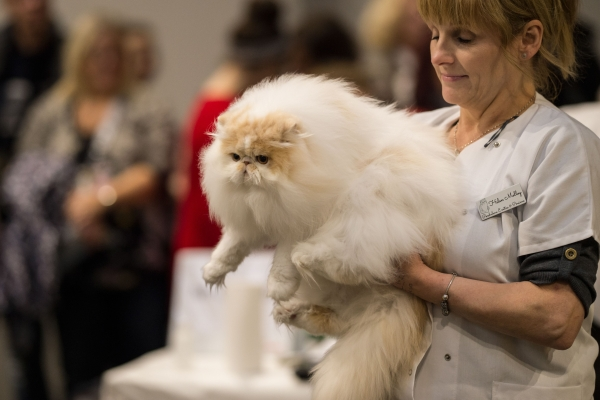 A cat is returned to its pen after being judged in the 'Tabby/Smoke/Cameo & White Persian' class at the 42nd 'Supreme Cat Show' organised by the Governing Council of the Cat Fancy and held in the NEC in Birmingham, central England on October 27, 2018 - The one-day Supreme Cat Show is one of the largest cat fancy competitions in Europe with over 800 cats being exhibited. Exhibitors aim to have their cat named as the show's 'Supreme Exhibit' from the winners of the individual categories of: Supreme Adult, Supreme Kitten and Supreme Neuter (Photo by OLI SCARFF / AFP)