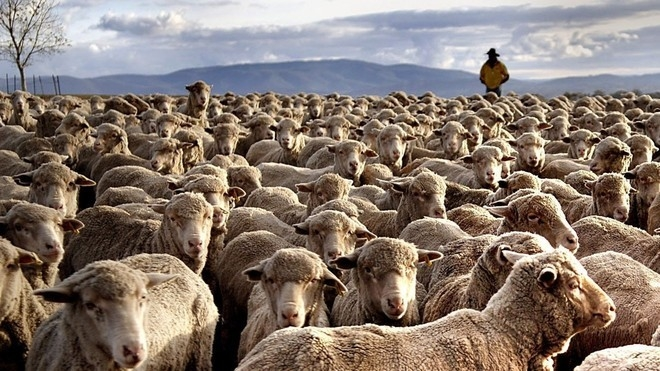 Australian merino sheep move as a herd on Cavan Property, near Yass, southern New South Wales, Australia, on Tuesday May 1, 2007. Wool output in Australia, the world's largest producer and exporter of the fiber, may fall to a 62-year low as drought forces farmers to cull sheep. Photographer: Jack Atley/Bloomberg News
