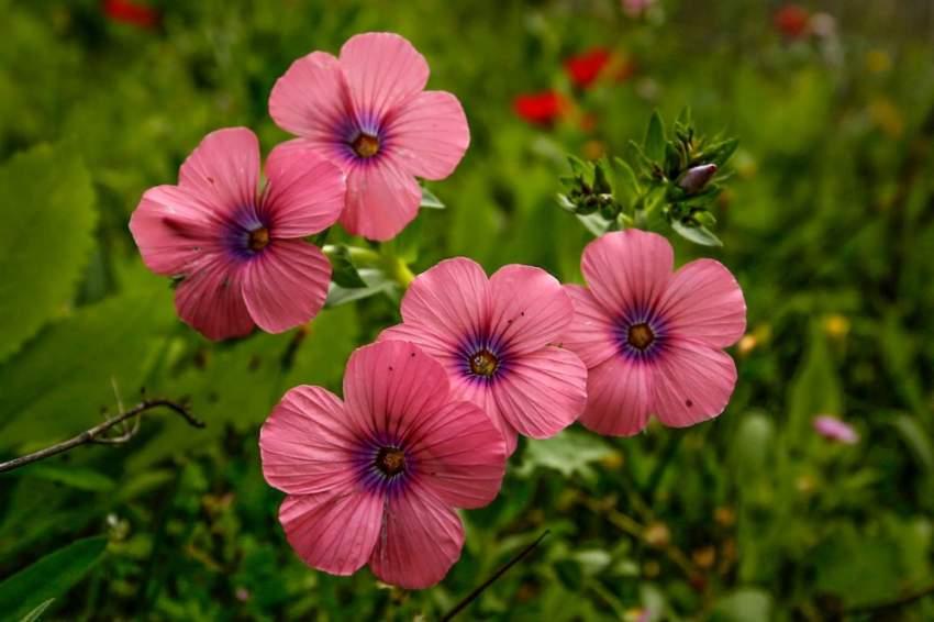 وصور لأزهار متنوعة في رام الله