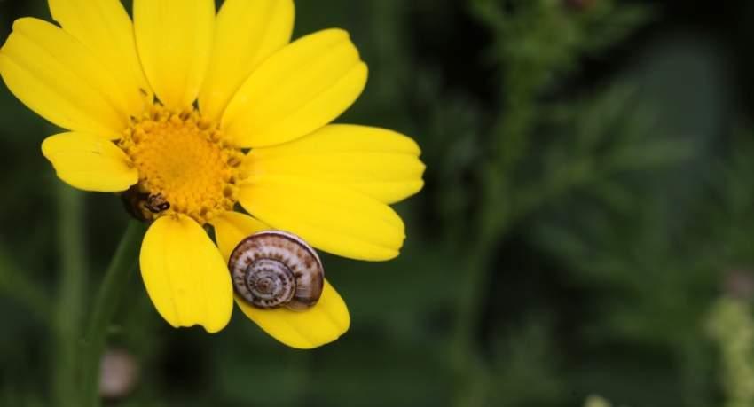 حلزونة تعانق زهرة في نابلس
