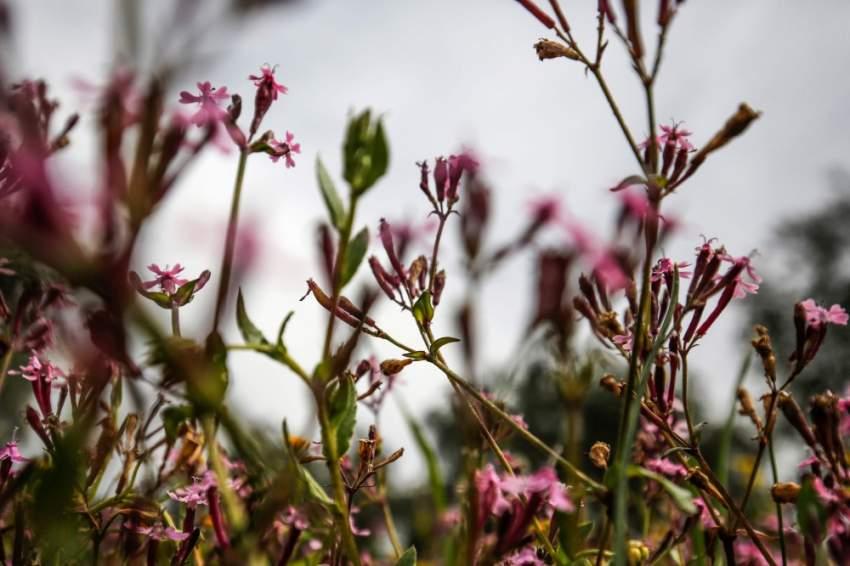 تفتح الأزهار إيذانا بفصل الربيع في رام الله