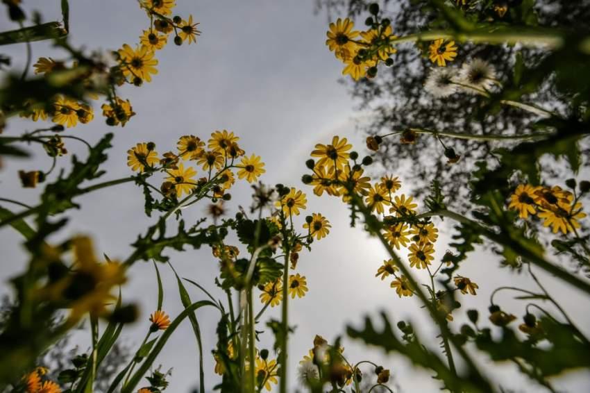 زهور عباد الشمس تعانق السماء