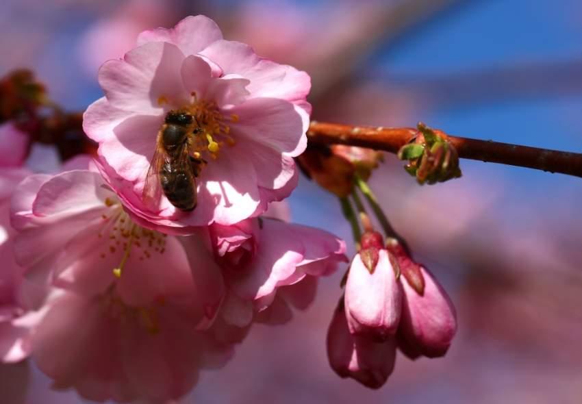 نحلة تبحث عن حبوب اللقاح بين أزهار الكرز في أحد أيام الربيع المشمسة في لوزان السويسرية