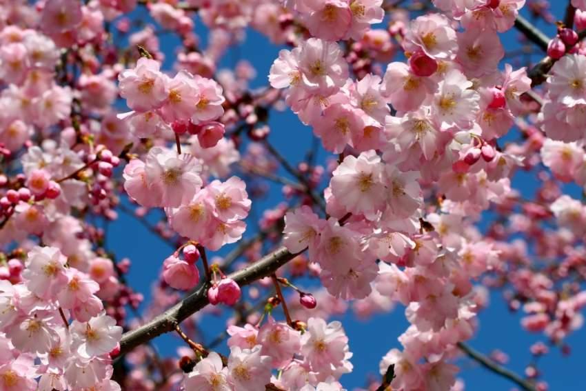 أزهار الكرز أو كما تعرف بـ cherry blossom