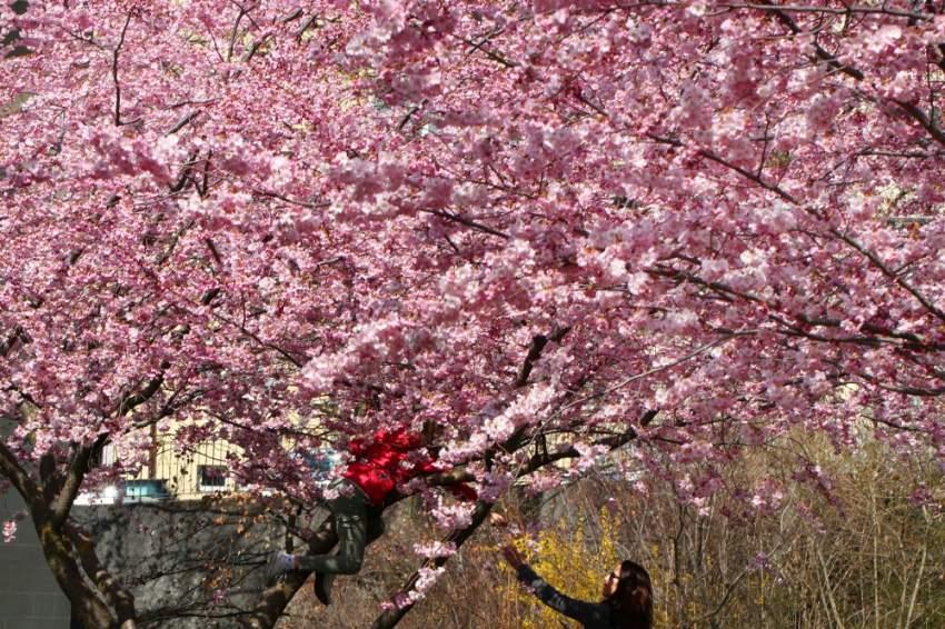 امرأة وطفلها يقطفان بعض أزهار الكرز