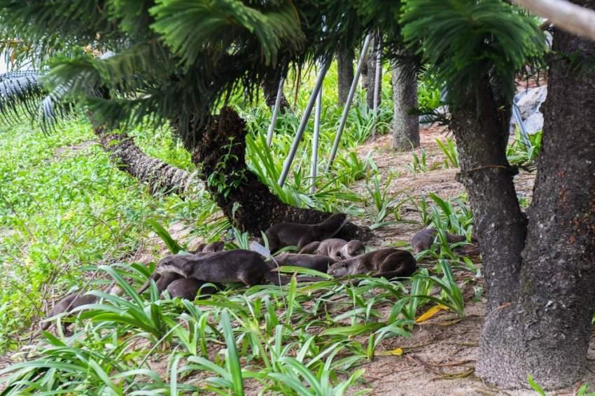 مجموعة من كلاب الماء تسترخي أسفل الشجرة في سنغافورة