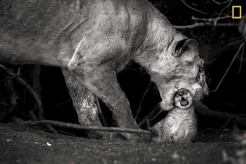 الأمومة .. أنثى أسد مع شبلها في كينيا. (تصوير: Sonalini Khetrapal)