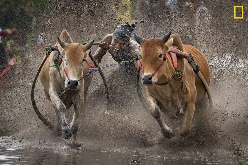 إلحاح السرعة .. سباق البقر إندونيسيا. (تصوير: Dale Johnson)