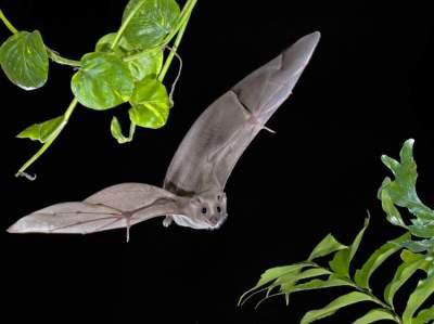 خفاش الفاكهة المصري