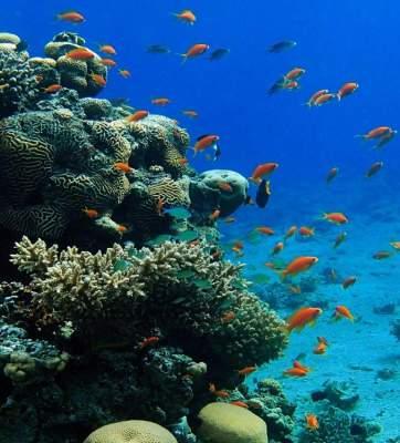 أسماك المرجان