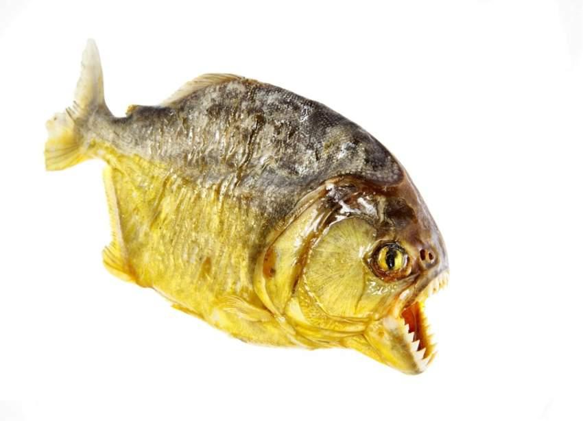 تزعم التقارير أن حوضاً مملوءاً بسمك «البيرانا» العملاق، تم بناؤه داخل سكن كيم، اُلقي فيه الجنرال بعد قطع ذراعيه وجذعه بالسكاكين