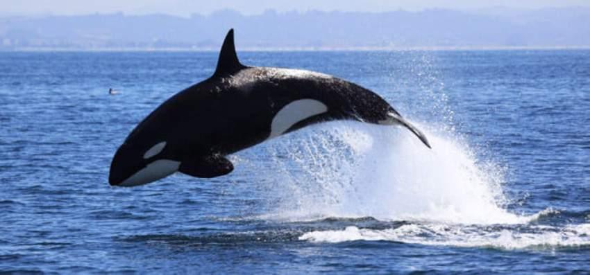 كندا تحظر تربية الحيتان
