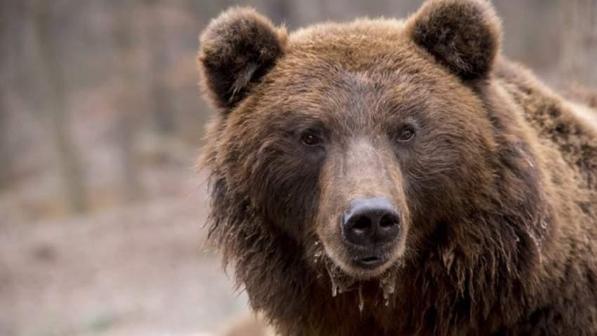 يسمح لحراس الغابة بقتله في حال اقترابه من مناطق مأهولة بالسكان
