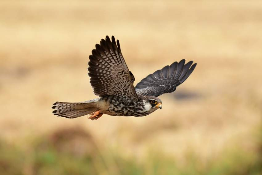 تشتهر سيبيريا بالطيور الجارحة