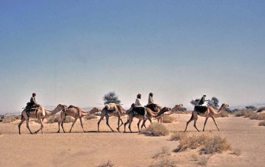 قافلة إبل تعبر الصحراء
