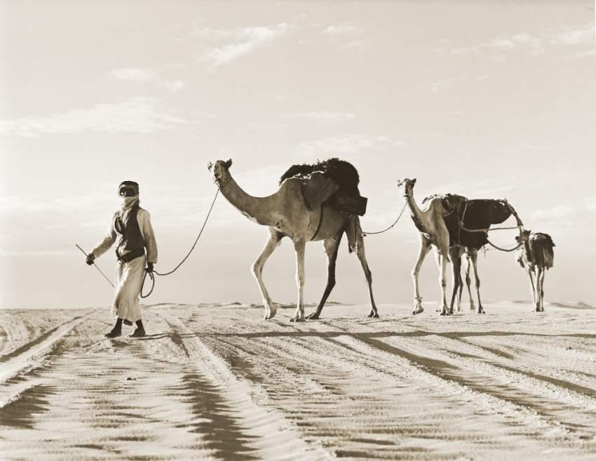 الإبل التي استخدمها أبناء الصحراء في تنقلاتهم
