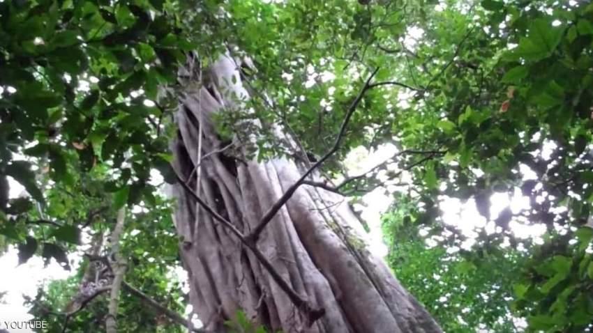 «أطول شجرة» في الأمازون تتحدى الحرائق
