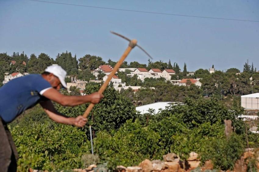 مزارع فلسطيني يحرث أرضه التي تعتزم إسرائيل اغتصابها. (أ ف ب)