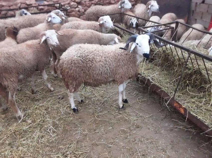 كورونا ينقل بيع المواشي إلى فيسبوك بالجزائر - أخبار صحيفة الرؤية