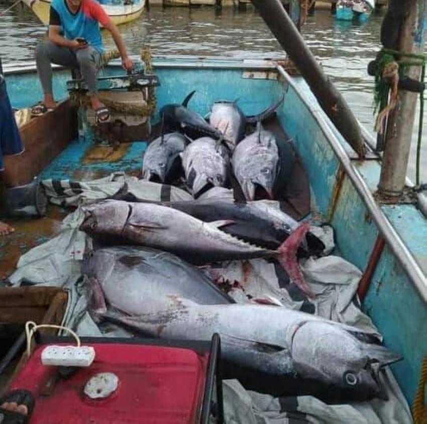 أسماك التونة داخل مركب