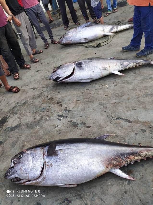 أسماك التونة داخل ميناء غزة
