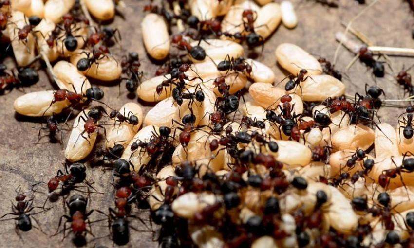 سنغافوري هاوي تربية النمل يطلق متجراً لمستعمراته - أخبار صحيفة الرؤية