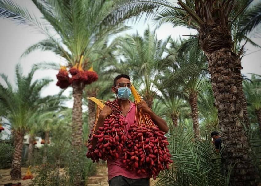 جني ثمار البلح بغزة.