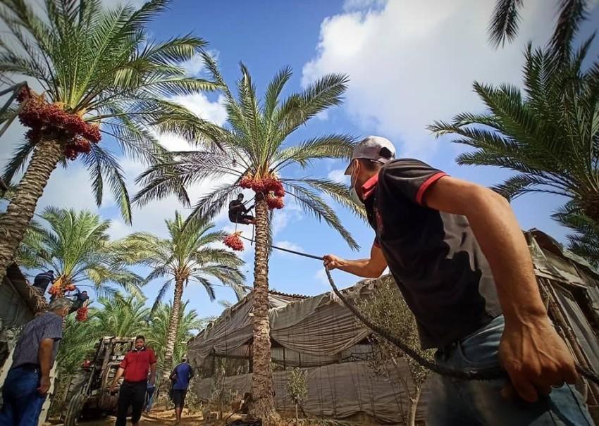 جني ثمار البلح في غزة.