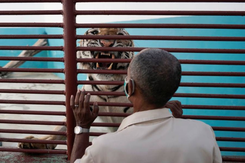 Bengal tiger Garfield interacts with zoo keeper Angel Cordero at the zoo in Havana, Cuba, April 14, 2021. Picture taken on April 14, 2021. REUTERS/Alexandre Meneghini