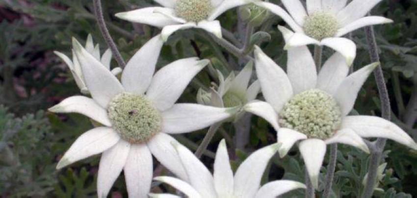 نبات الفانيلا