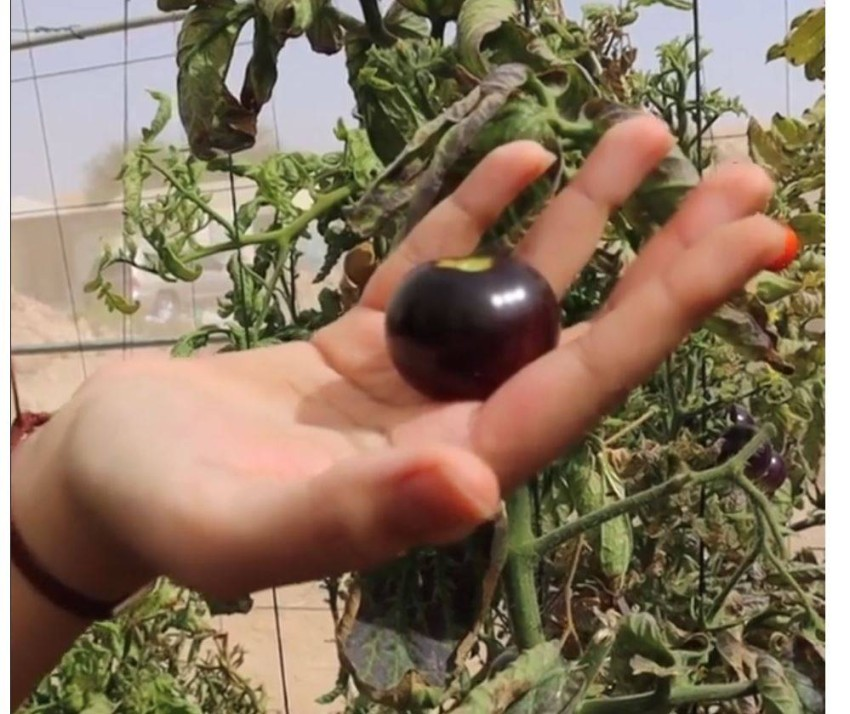 طماطم سوداء