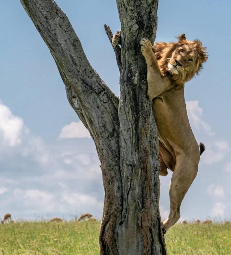 ملك الغابة محاصراً فوق شجرة في غابات كينيا