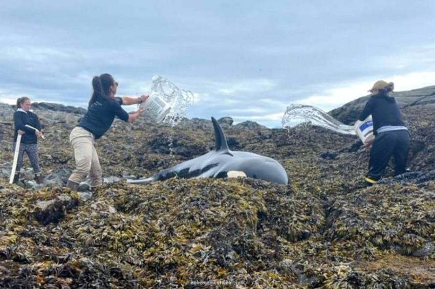 سلسلة بشرية لرش الحوت القاتل بالمياه.